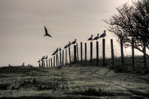 Gulls_sitting_on_the_fence,_Flat_Holm